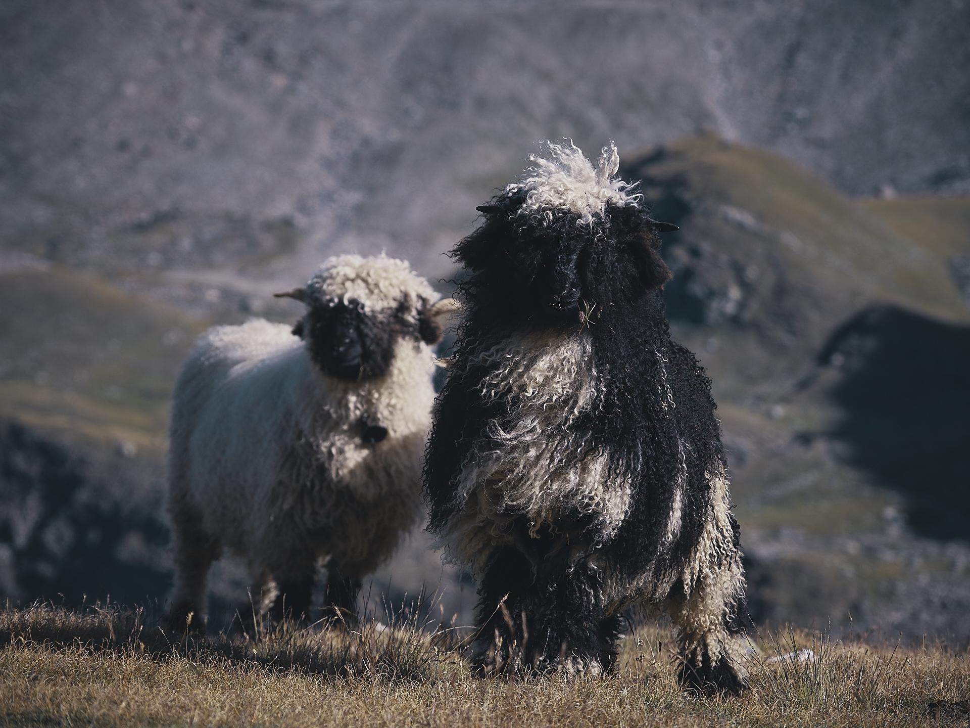Black Nose sheep of the Valais, Switzerland