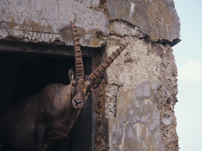 Ibex, Italy