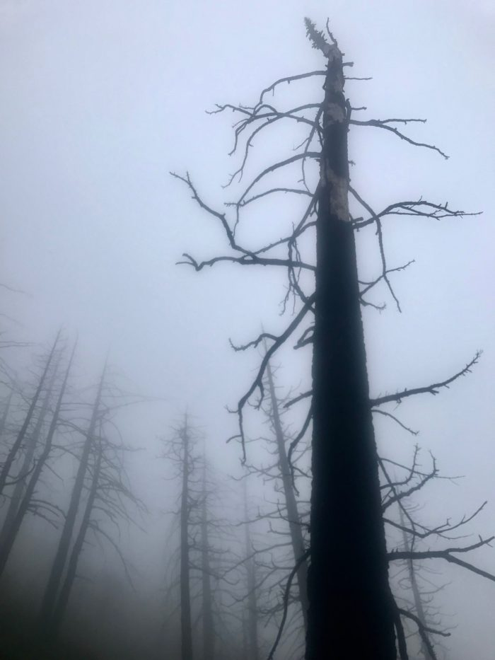 Picture of dead trees in the fog.