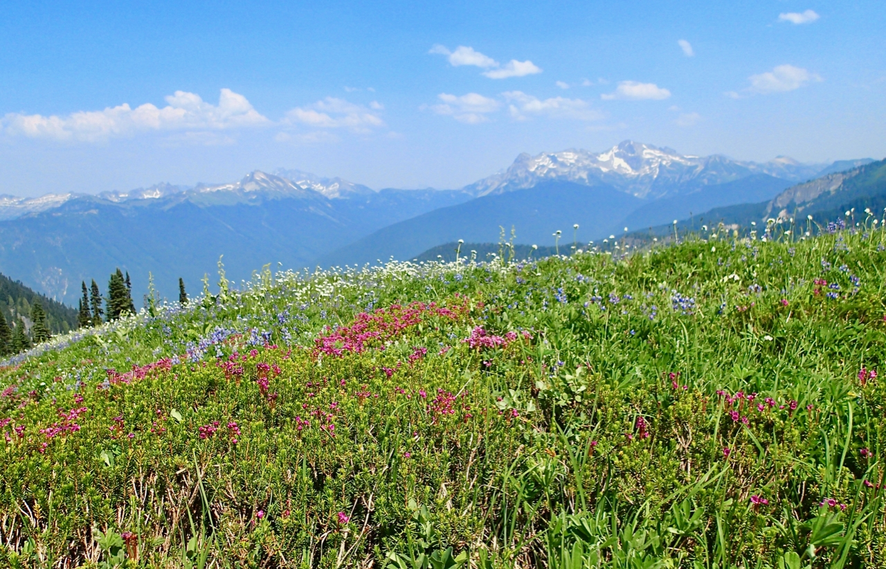 Field of wildflowers with distant mountains