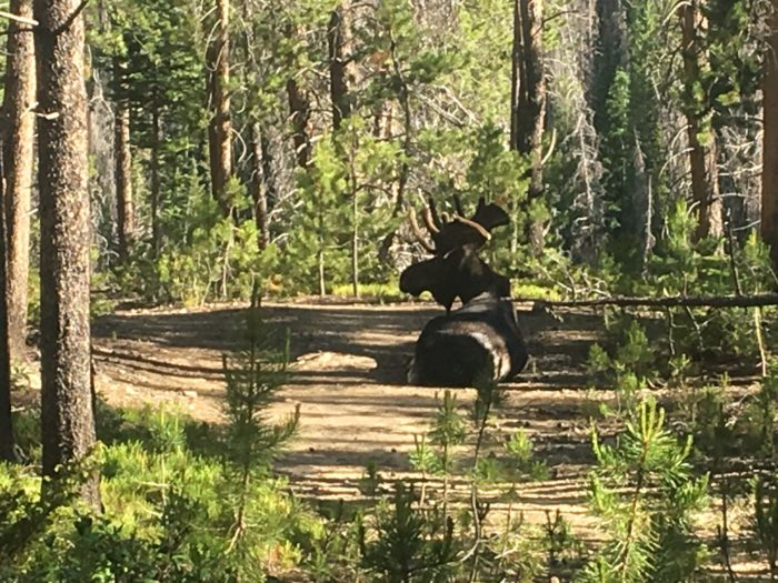 Moose sitting on trail