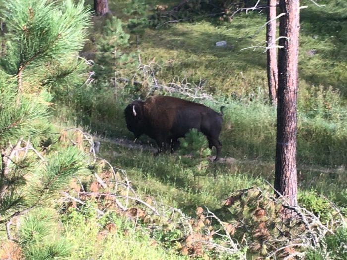 bison bull centennial trail clay bonnyman evans