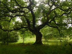 A beautiful Scottish tree