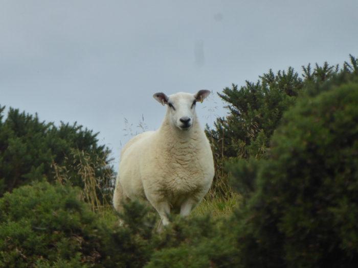 A sheepy