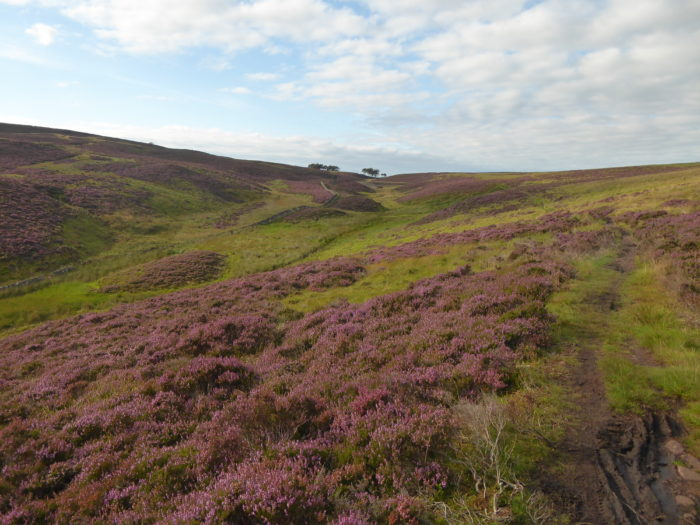 Heather in the Pentland Hills