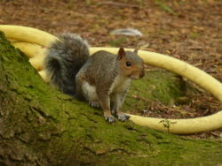 A European Grey Squirrel in Edinburgh