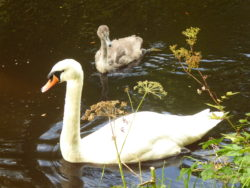 Scottish mute swan and its cygnet