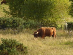 A highland bull doing a very good impression of a bison or aurochs