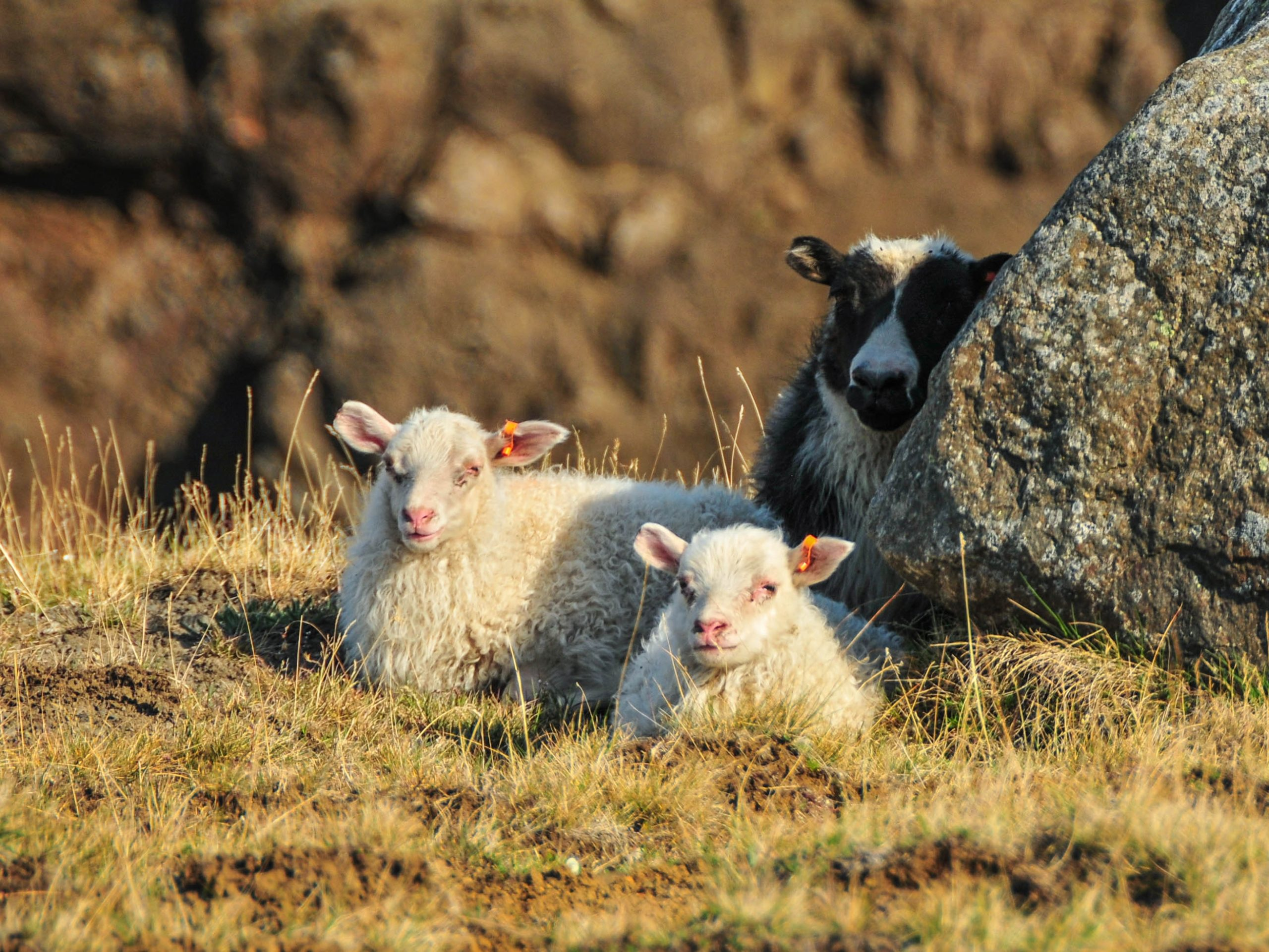an ewe and her two lambs sitting in the shade of a rock
