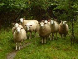 A parade of cheviot sheepies!