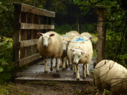 The sheep procession continued for a shockingly long time.