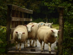 Every other sheep proceeded to halt and stare at me suspiciously.