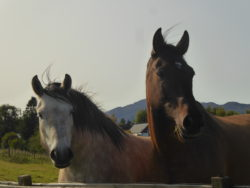 HORSES (Highland Ponies.)