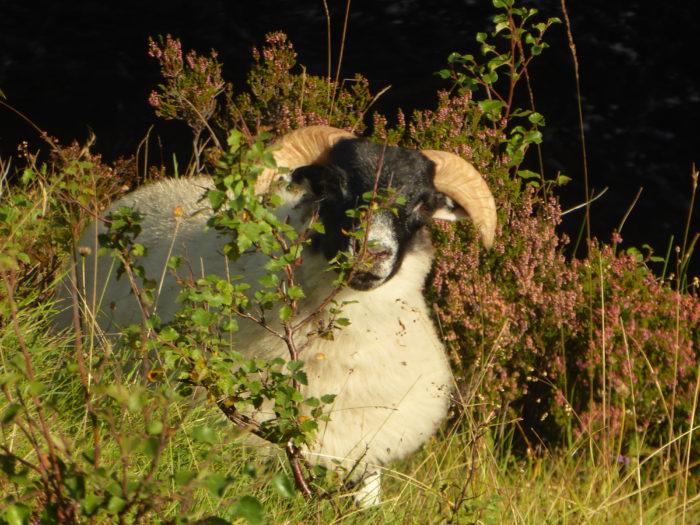 Insert sheep here because Scotland has a bazillion sheep.