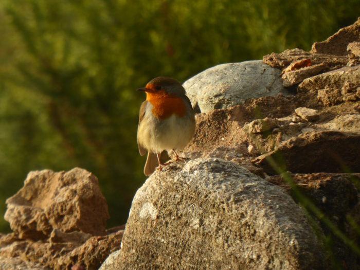 A European Robin - cuter than the North American version!
