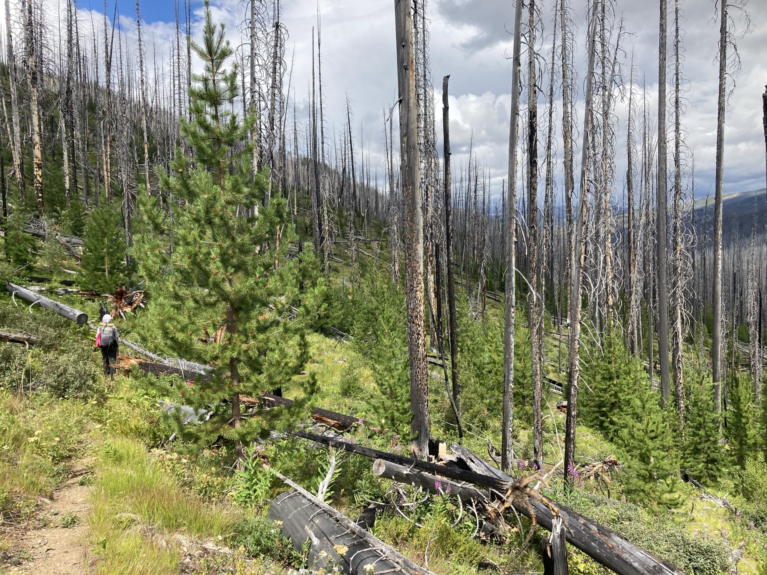 Person hiking through forest of dead trees just before one of the scariest moments